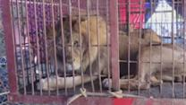 33 lions rescued from circuses in Peru and Columbia