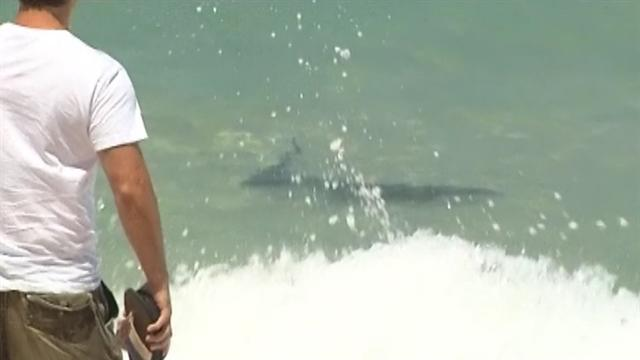 Tiger sharks feed on dolphin carcass close to shore