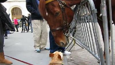 Cute Dog Plays With Police Horse