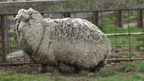"""Shaun"" the sheep could be the world's woolliest"