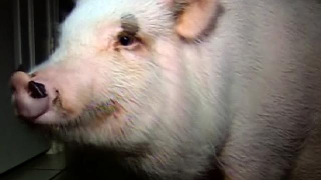 Texas pig wins right to be called a pet