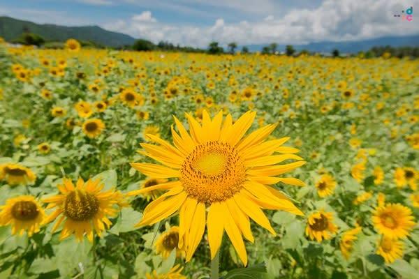 洄瀾灣開心農場內種植近3萬株向日葵花,近期正值花期綻放,景象迷人。(圖/洄瀾灣開心農場,以下同)