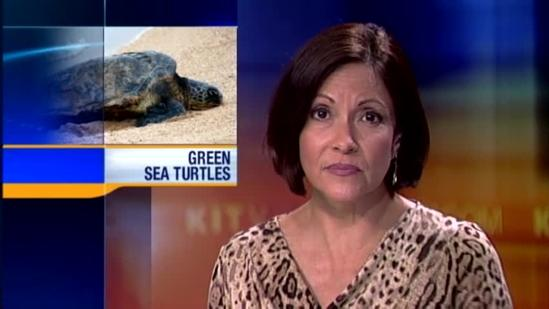Possible delisting of the green sea turtle