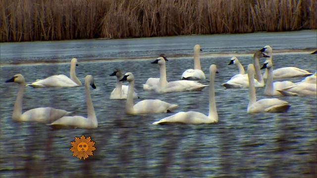 Nature: Canadian geese