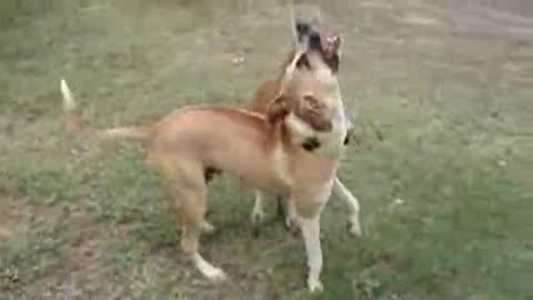 Friendly Kangaroo Wrestles Dog
