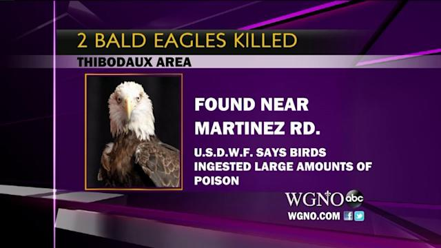 Police Say Someone Poisoned Two Bald Eagles