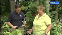 Learn about hostas
