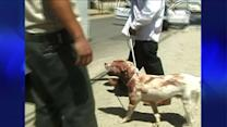 Pit Bulls, Covered in Blood, Seized After Attacking Pedestrian