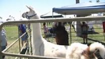 Complaint prompts llama drama in Arizona