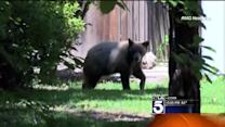 Wayward Bear Found Wandering Through La Canada Flintridge