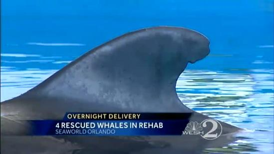 4 stranded pilot whales moved to SeaWorld for care