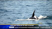 Killer whale spotted off the coast of San Diego