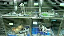 Canine Flu Creating Surplus Of Dogs At Suburban Shelter
