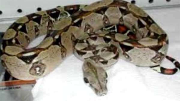 Boa constrictor on the loose in neighborhood
