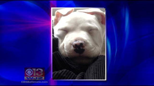 Thieves Ransack Timonium Home, Steal Couple's Deaf Pit Bull Puppy