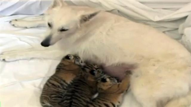 Watch: Dog adopts tiger cubs