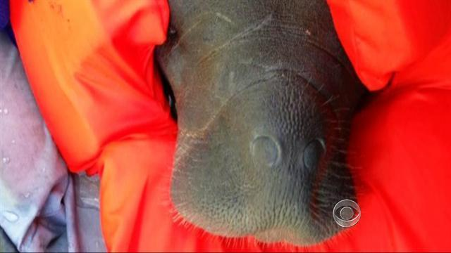 Red tide poses major threat to Florida's manatees