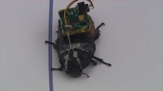 Robo roaches: The future of search and rescue operations?