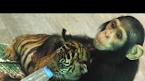 Chimp Bottle Feeds Tiger Cubs