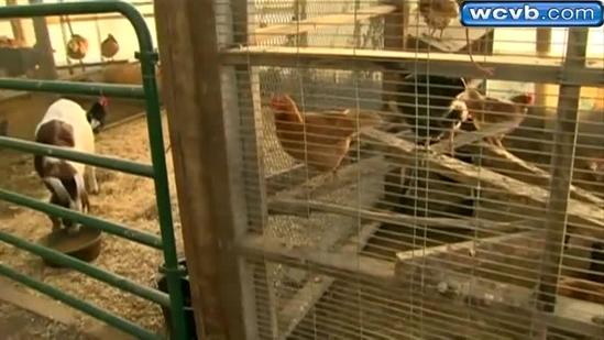 200 chicks stolen from Mass. farm