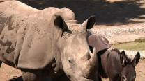 Raw: Donkeys Call Rhino Roommate at Tbilisi Zoo