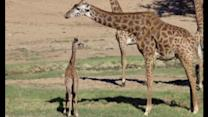 New-born baby giraffes at San Diego Zoo