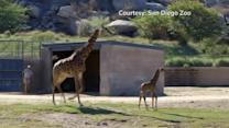 Giraffe calf checks out new surroundings