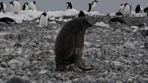 Penguin chick faceplants on Antarctic beach