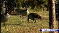 Trying to capture goose with arrow through body