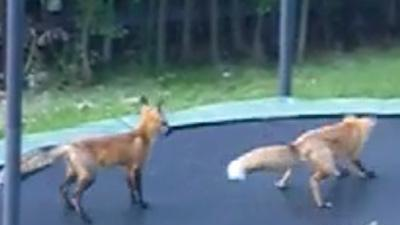 Foxes Discover Trampoline