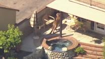 Mountain Lion Roams Calif. Neighborhood