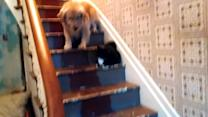 Dog is Afraid to Pass Cat on Stairs