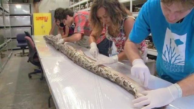 Record-setting 17-foot-long python found in the Everglades