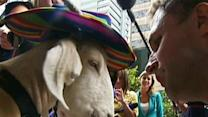 Media Circus As Goat Appears in Court