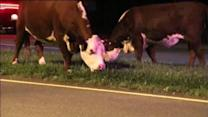 Cows spotted on the streets of Roxborough