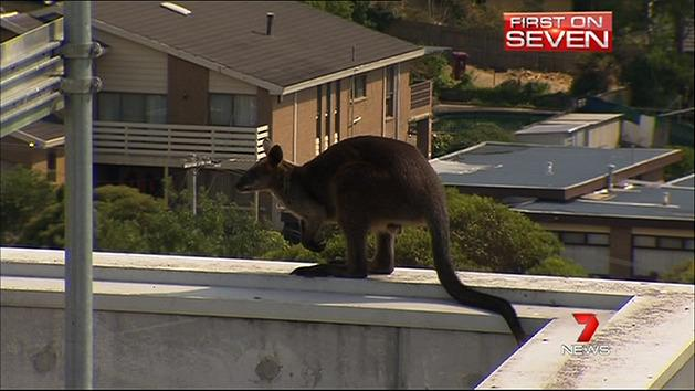 Wallaby in high-rise drama