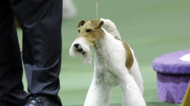 Backstage at the 138th Annual Westminster Dog Show