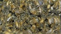 Millions of bees escape near Seattle