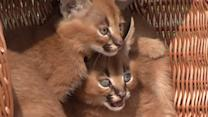 Raw: German Zoo Shows Off 4 Baby Lynx