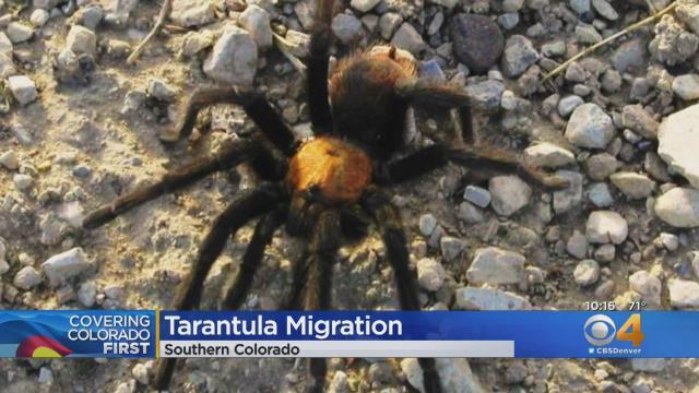 New tarantula species is a shocking metallic-blue