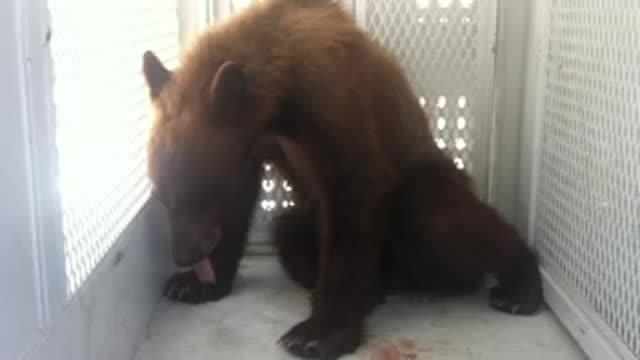 200 Pound Bear Tranquilized Near Elementary School