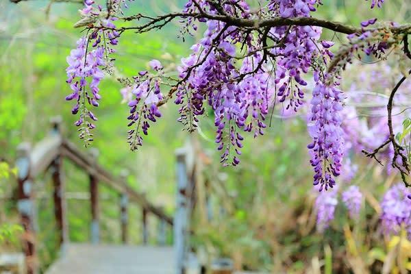 紫藤花如流蘇般垂落而下,紫色的花綻放讓人感受浪漫逼人。