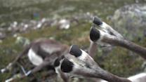Lightning Storm Kills Hundreds of Wild Reindeer in Norway