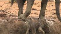 This Elephant Calf Stuck in the Mud Symbolizes All of Our Struggles