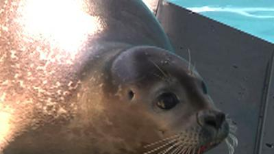 Seal Recovers After Losing Hind Flipper