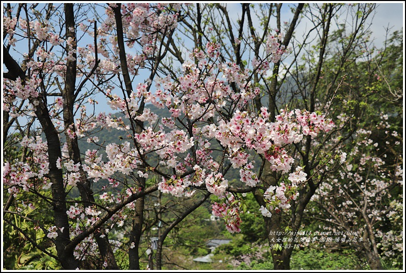 陽明山櫻花季-2018-03-12.jpg