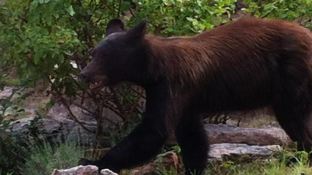 Program aims to keep bears fed, away from public in N.M.
