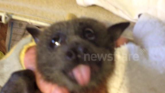 Charlie the Grey-Headed Flying-Fox LOVES grapes