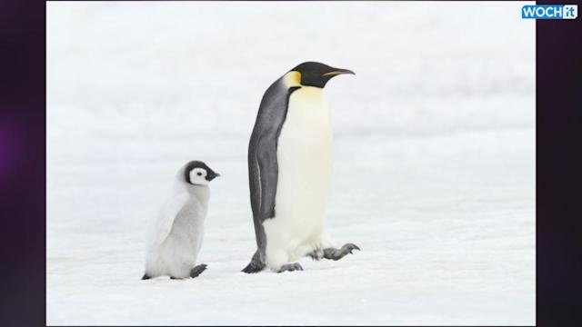 Emperor Penguin Population To Slide Due Antarctic Climate Change