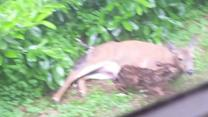 Mother Deer Gives Birth to Two Babies